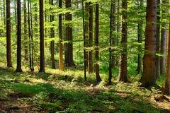 urtids- skog Fotografering för Bildbyråer