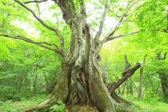 Urtids- skog av det kastanjebruna trädet Arkivfoto
