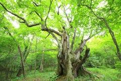 Urtids- skog av det kastanjebruna trädet Royaltyfri Foto