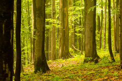 Urtids- skog i Poloniny Arkivfoton