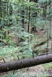 Urtids- skog i södra västra Polen Royaltyfria Foton
