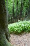 Urtids- skog i södra västra Polen Royaltyfri Fotografi
