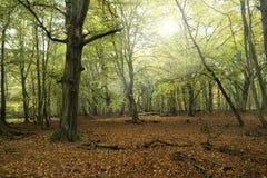 Urtids- skog på Darss Fotografering för Bildbyråer