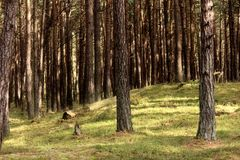 Urtids- skog på Darss Arkivfoton
