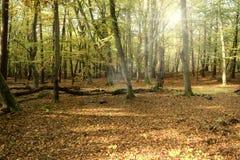 Urtids- skog på Darss Arkivbild