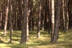 Urtids- skog på Darss Royaltyfri Bild