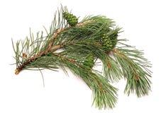 Urto su un ramo del pino, verde Immagini Stock