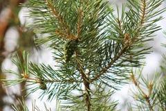 Urto su un ramo del pino, verde Fotografia Stock Libera da Diritti