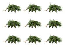 Urto su un ramo del pino, verde Fotografia Stock