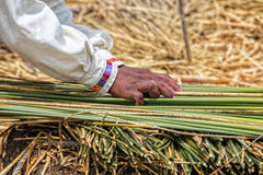 Uru sorting reed for island Stock Photo