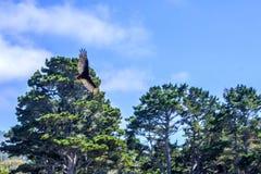 Urubu в полете Стоковая Фотография RF