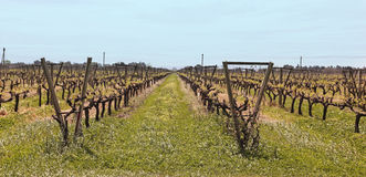 Uruguayan vineyards Royalty Free Stock Photography