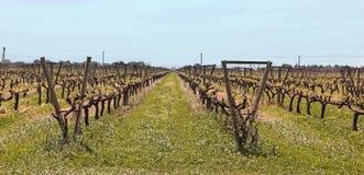 Uruguayan vineyards. Southeast Zone Uruguayan wine, near the Rio Uruguay. Carmelo. Uruguay Royalty Free Stock Photography