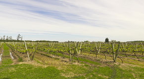 Uruguayan vineyards Royalty Free Stock Photo