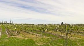 Uruguayan vineyards. Southeast Zone Uruguayan wine, near the Rio Uruguay. Carmelo. Uruguay Royalty Free Stock Photo