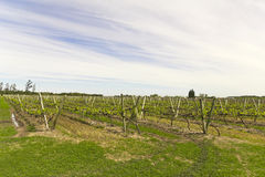 Uruguayan vineyards Royalty Free Stock Image