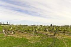 Uruguayan vineyards. Southeast Zone Uruguayan wine, near the Rio Uruguay. Carmelo. Uruguay Royalty Free Stock Image