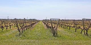 Uruguayan wijngaarden Royalty-vrije Stock Afbeelding
