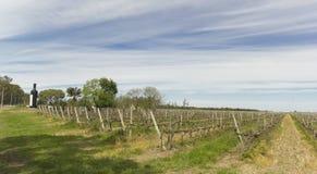 Uruguayan wine grapevines. Near the Uruguay river. Carmelo. Uruguay Stock Image