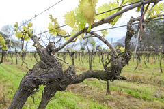 Uruguayan wine grapevines. Stock Photos