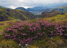 A urze cor-de-rosa de florescência floresce com o vale maravilhoso em Godaland T Imagens de Stock