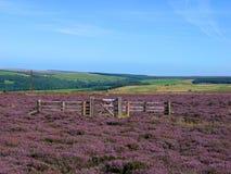 Urze do Lilac Imagem de Stock Royalty Free