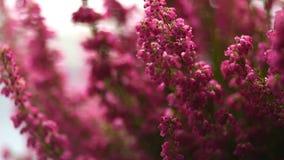 Urze gracilis do inverno de Erica da metragem na flor completa video estoque