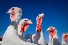 Farm Turkeys Royalty Free Stock Image