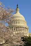 US capitol cherry blossoms Stock Photos