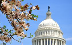 US Capitol in Magnolia bloom Royalty Free Stock Images