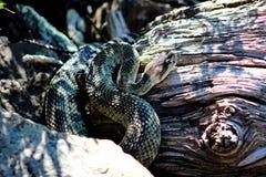 Pacific Rattlesnake, Siskiyou County, Northern California, USA royalty free stock image