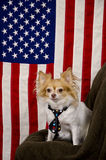 US flag and cute Chihuahua dog. Patriot Chihuahua dog wearing a black tie with stars sitting in front of the Star Spangled Banner looking alert stock photography
