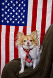 US flag and cute Chihuahua dog Royalty Free Stock Photos