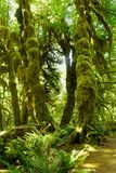 US National Parks, Olympic National Park, Washington. Lush green trees in rainforest in Olympic National Park, Washington. U.S. National Parks stock images