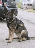 US Navy K-9 German Shepherd providing security during Fleet Week 2014 Royalty Free Stock Image