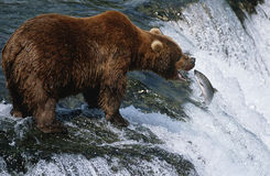 USA Alaska Katmai National Park Brown Bear catching Salmon in river side view Stock Image