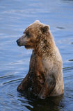 USA Alaska Katmai National Park Brown Bear in water Royalty Free Stock Photos