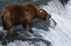 USA Alaska Katmai nationalparkbrunbjörn som fångar laxen i flodsidosikt Fotografering för Bildbyråer