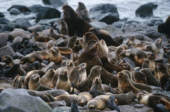 USA Alaska St. Paul Island colony of Northern Fur Seals on rocky shore Royalty Free Stock Image