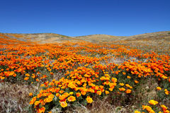 USA  Antelope valley flowers Stock Photo