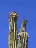 USA, Arizona: Budding, Blooming Saguaro Cactus Royalty Free Stock Image