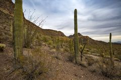 USA - Arizona - Organ Pipe Cactus National Monument Royalty Free Stock Photography