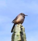 Cactus Wren on Totem Pole Cactus Royalty Free Stock Image