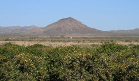 USA, Arizona: Grapefruit Orchard In A Desert Stock Photography