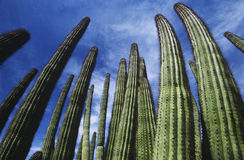USA Arizona Organ Pipe Cactus against sky low angle view Royalty Free Stock Photography