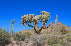 USA, Arizona: Cactus - Hanging Chain Cholla Stock Photos