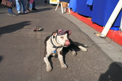 USA, AZ: American Bulldog with New Vizor. This American Bulldog has just got a new vizor/cap - the old one lying behind him. He attracts customers to the booth Royalty Free Stock Photo