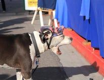 USA, AZ: Amerikanische Bulldogge mit neuer Maske Lizenzfreies Stockfoto