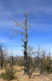 USA, AZ/Chiricahua Mountains: Burnt Trees Stock Photos