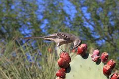 USA, AZ: Mockingbird Feasting On Prickly Pears Royalty Free Stock Images